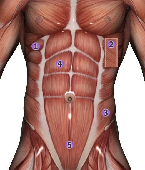 Anatomie der Bauchmuskeln
