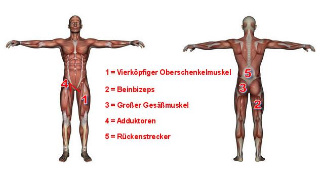 Beinmuskulatur